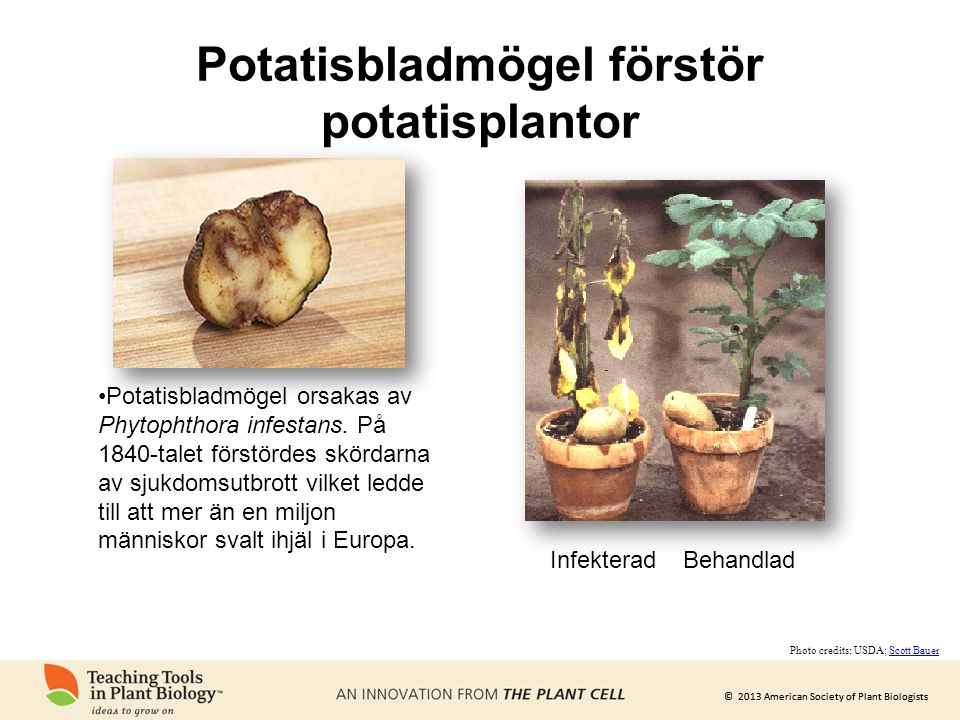 Potatisbladmögel förstör potatisplantor