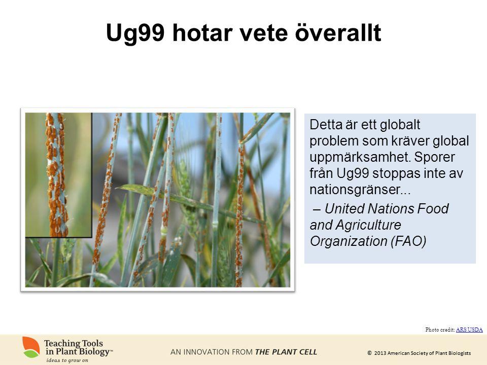 Ug99 hotar vete överallt