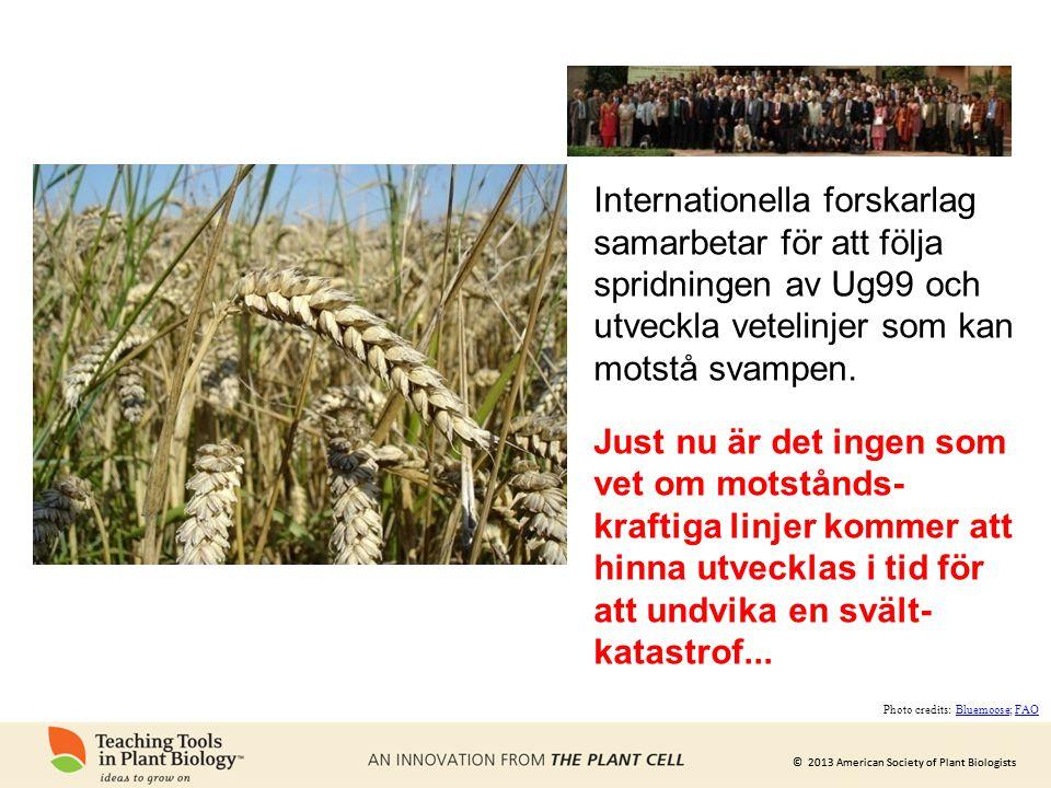 Internationella forskarlag samarbetar för att följa spridningen av Ug99 och utveckla vetelinjer som kan motstå svampen.