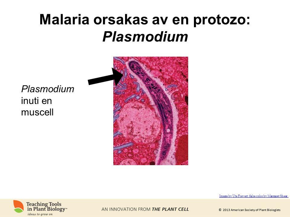 Malaria orsakas av en protozo: Plasmodium