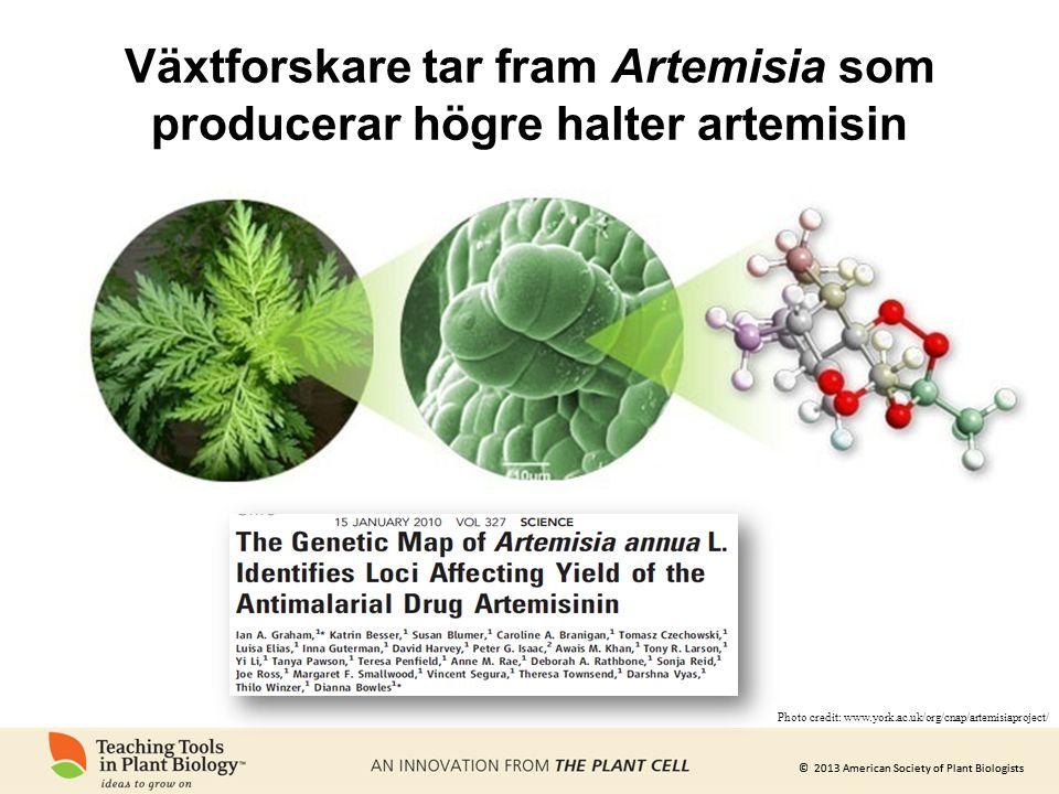 Växtforskare tar fram Artemisia som producerar högre halter artemisin