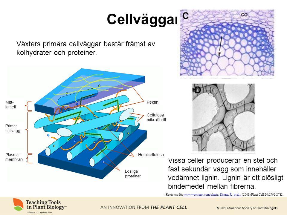 Cellväggar Växters primära cellväggar består främst av kolhydrater och proteiner. Mitt-lamell. Pektin.