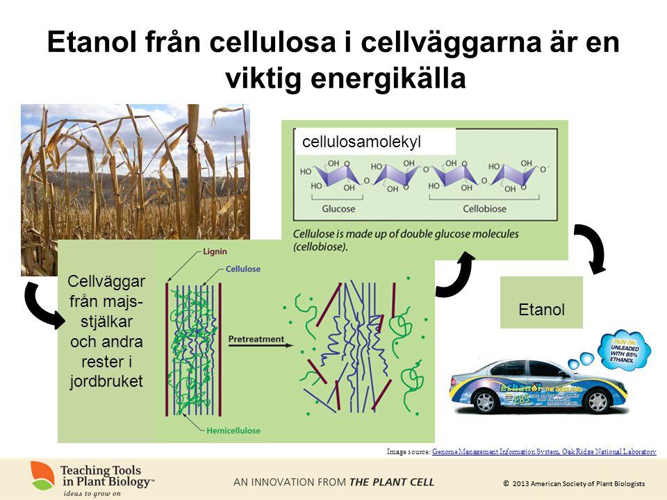 Etanol från cellulosa i cellväggarna är en viktig energikälla