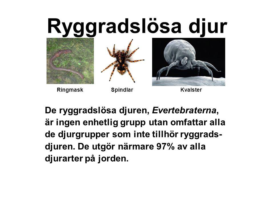 Ryggradslösa djur De ryggradslösa djuren, Evertebraterna,