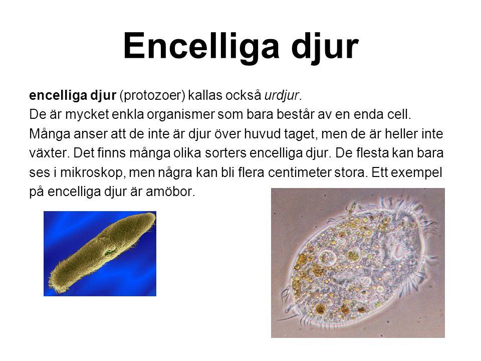 Encelliga djur encelliga djur (protozoer) kallas också urdjur.