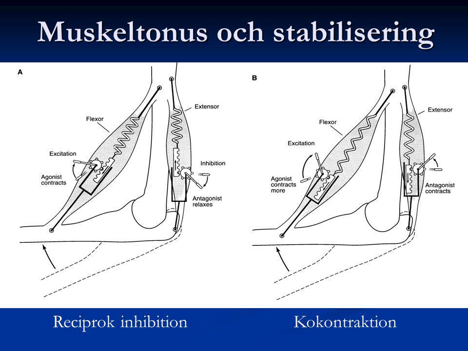 Muskeltonus och stabilisering