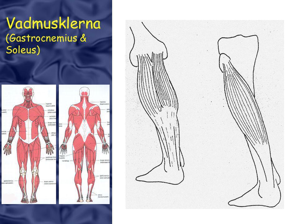 Vadmusklerna (Gastrocnemius & Soleus)