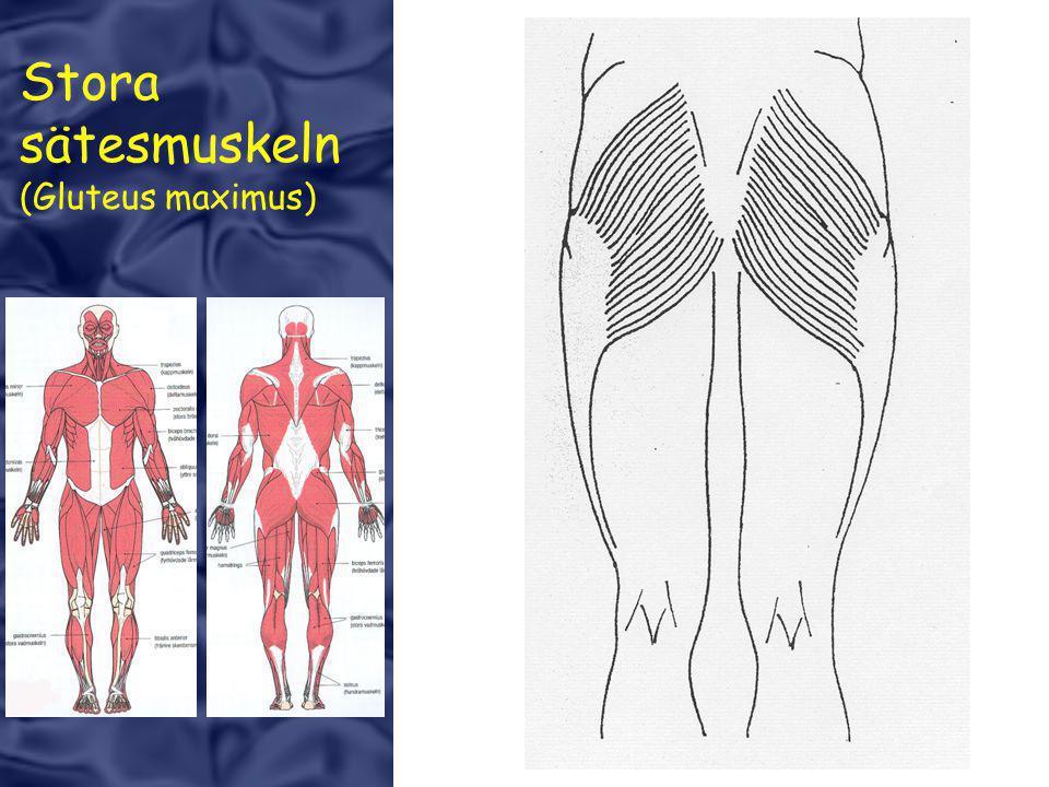 Stora sätesmuskeln (Gluteus maximus)