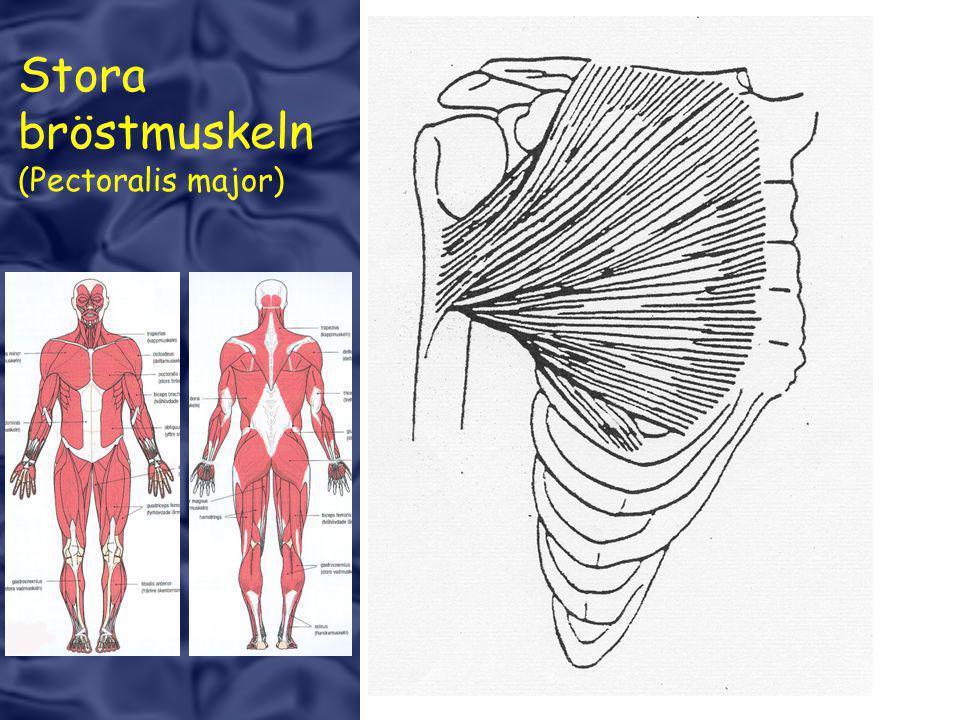 Stora bröstmuskeln (Pectoralis major)