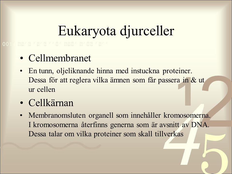 Eukaryota djurceller Cellmembranet Cellkärnan