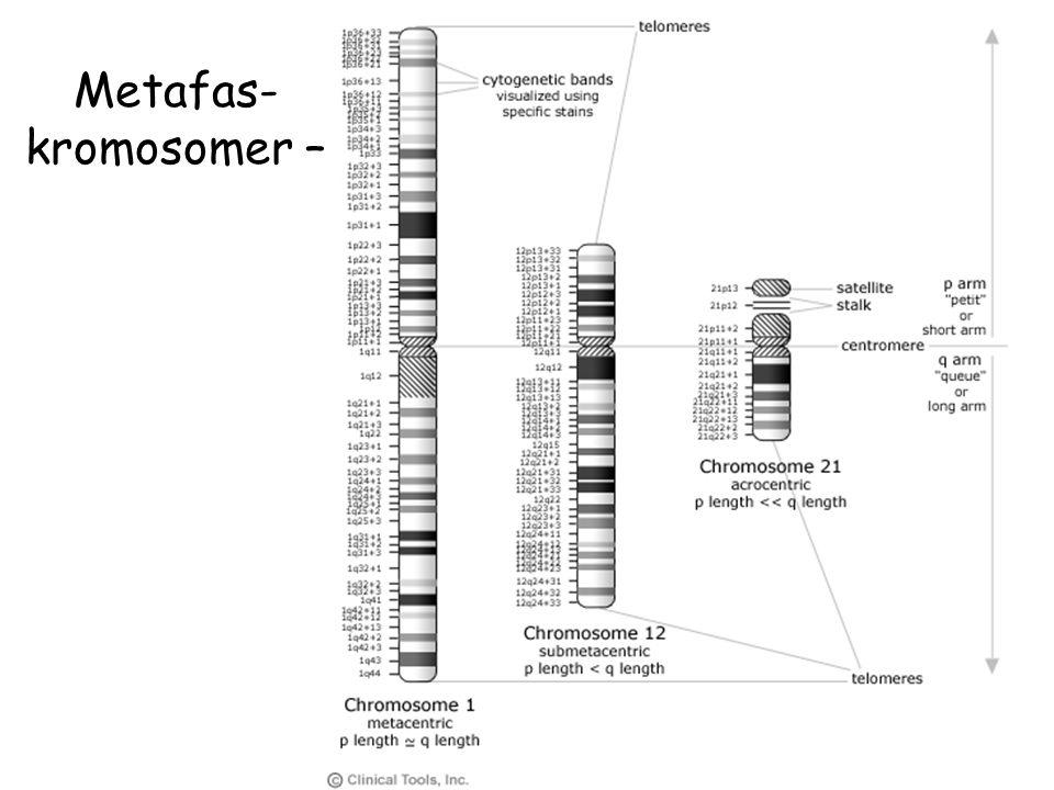 Metafas-kromosomer –