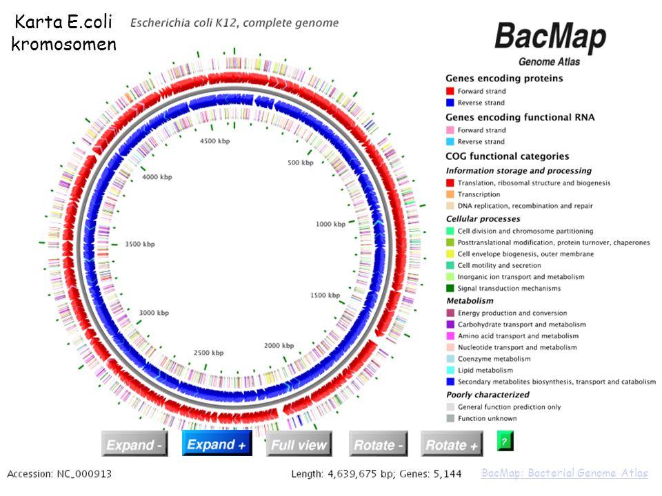 Karta E.coli kromosomen