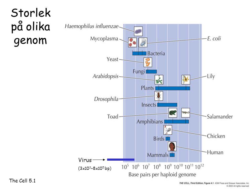 Storlek på olika genom Virus (3x103-8x105 bp) The Cell 5.1