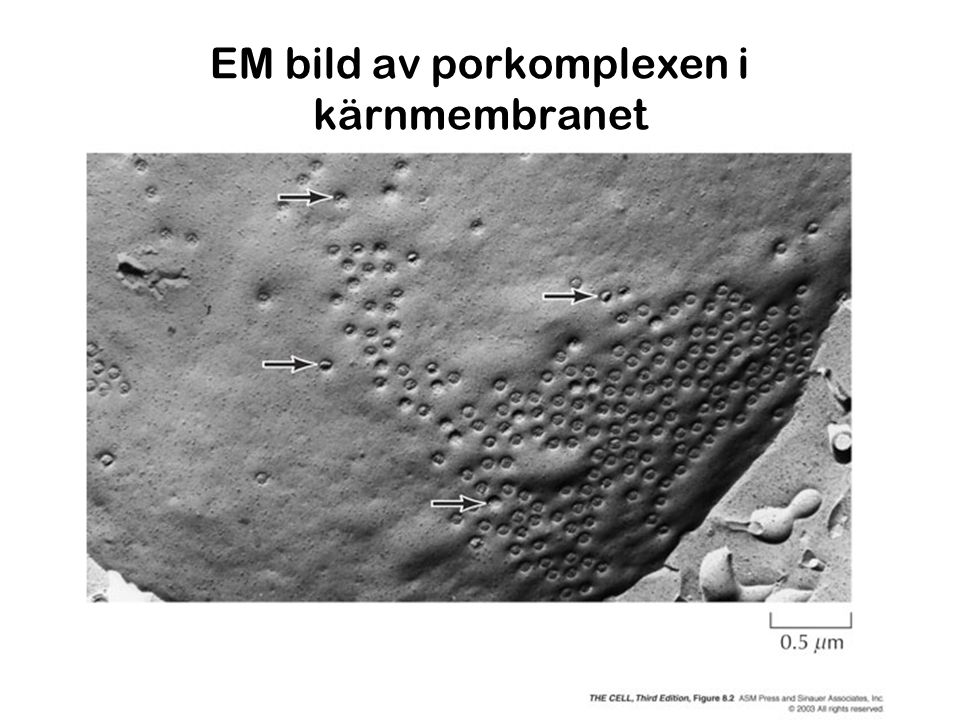 EM bild av porkomplexen i kärnmembranet
