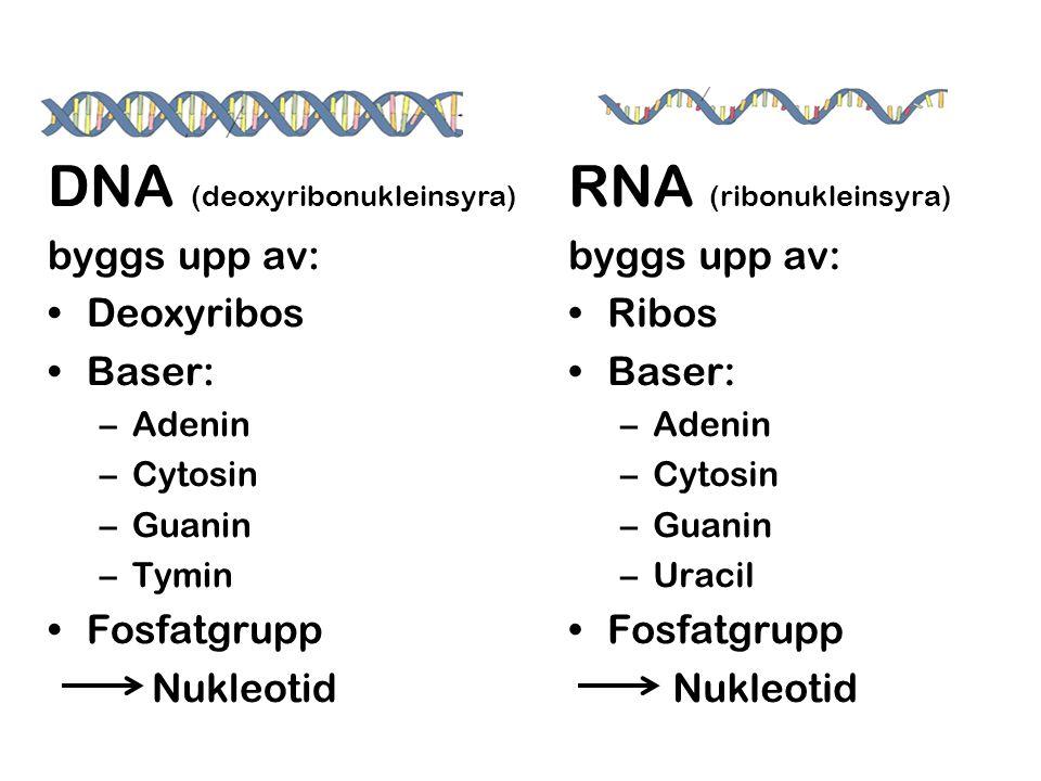 DNA (deoxyribonukleinsyra) RNA (ribonukleinsyra)
