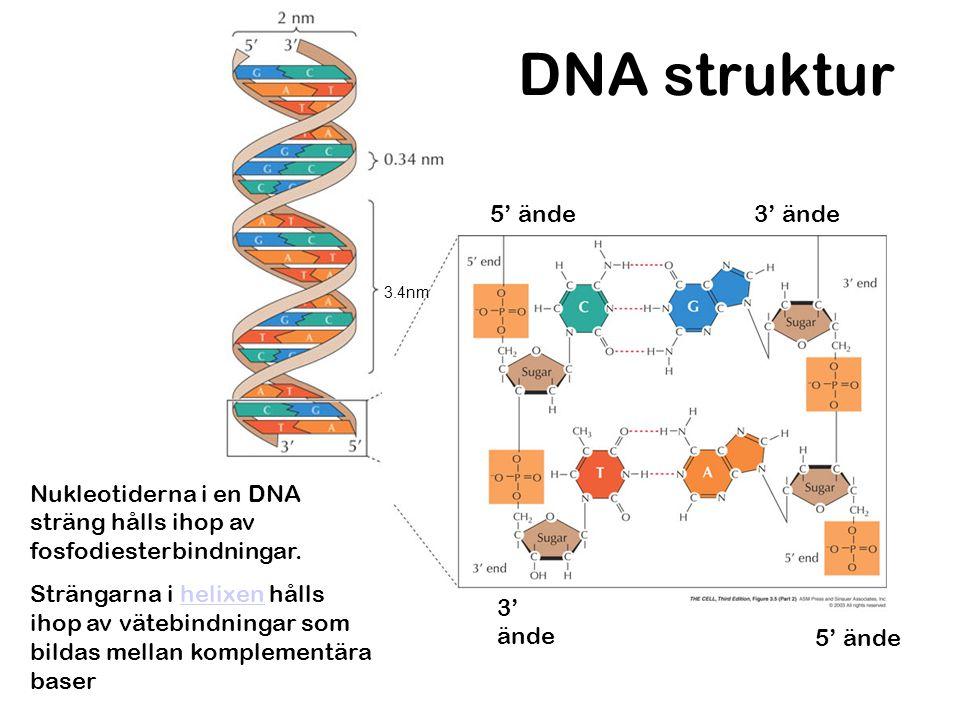 DNA struktur 5' ände 3' ände