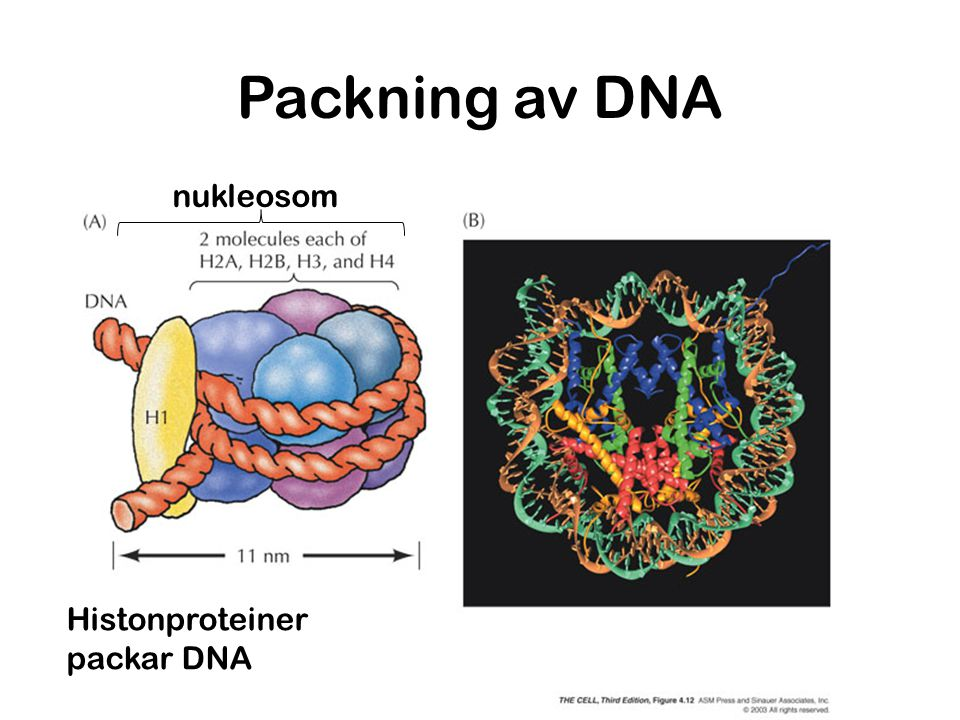 Packning av DNA nukleosom Histonproteiner packar DNA
