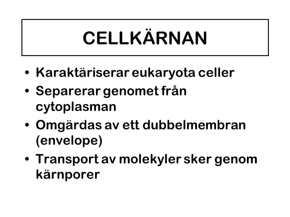 CELLKÄRNAN Karaktäriserar eukaryota celler