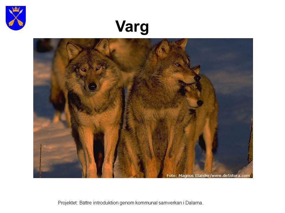 Varg Foto: Magnus Elander/www.de5stora.com.