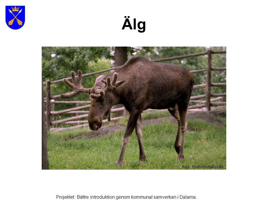 Älg Projektet: Bättre introduktion genom kommunal samverkan i Dalarna.