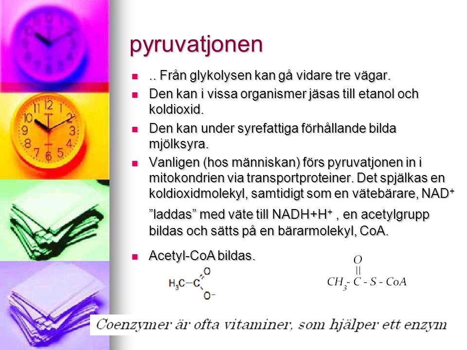 pyruvatjonen .. Från glykolysen kan gå vidare tre vägar.