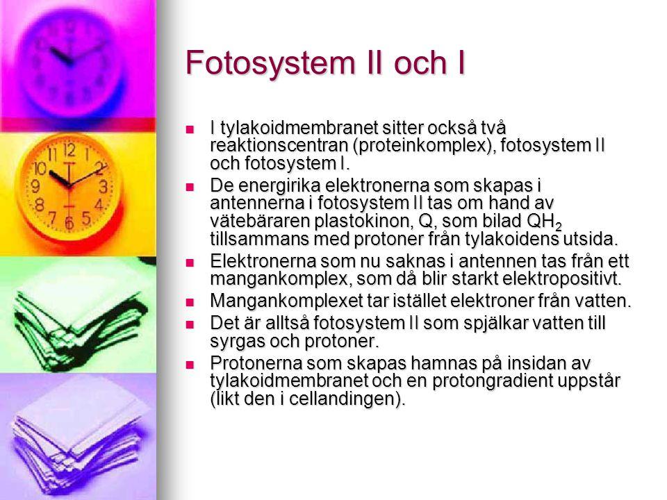 Fotosystem II och I I tylakoidmembranet sitter också två reaktionscentran (proteinkomplex), fotosystem II och fotosystem I.