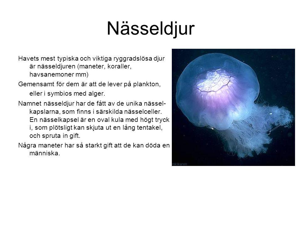 Nässeldjur Havets mest typiska och viktiga ryggradslösa djur är nässeldjuren (maneter, koraller, havsanemoner mm)