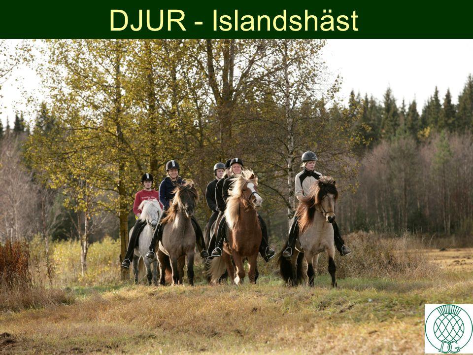 DJUR - Islandshäst 4