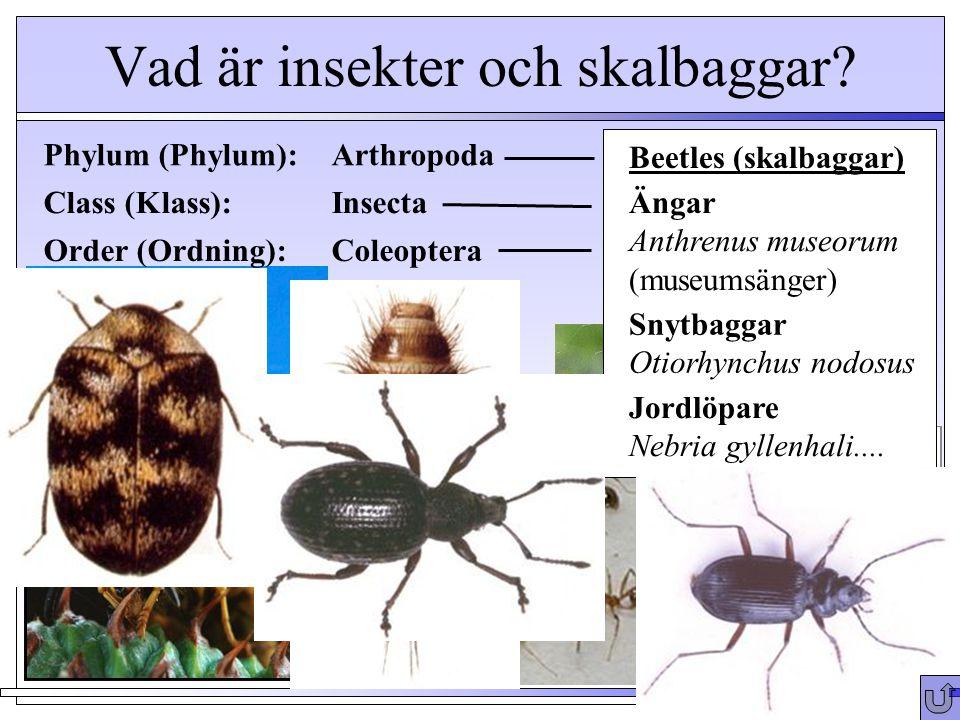 Vad är insekter och skalbaggar