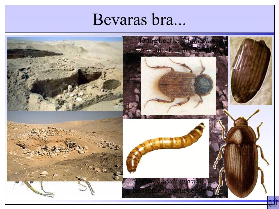 Bevaras bra... Heleomyza borealis - puparia Greenland ~1350AD