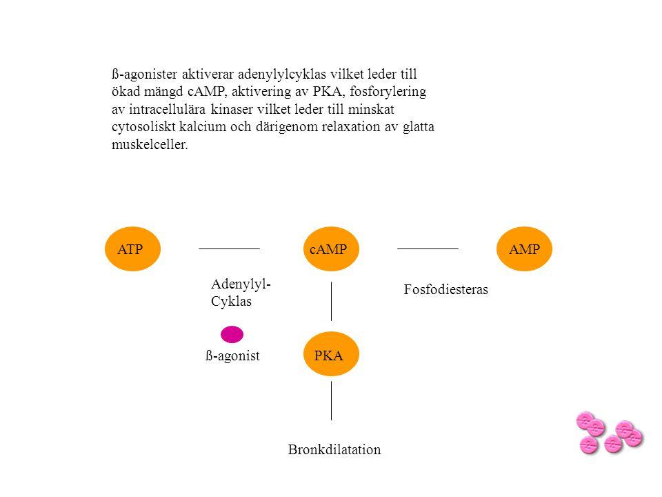 ß-agonister aktiverar adenylylcyklas vilket leder till