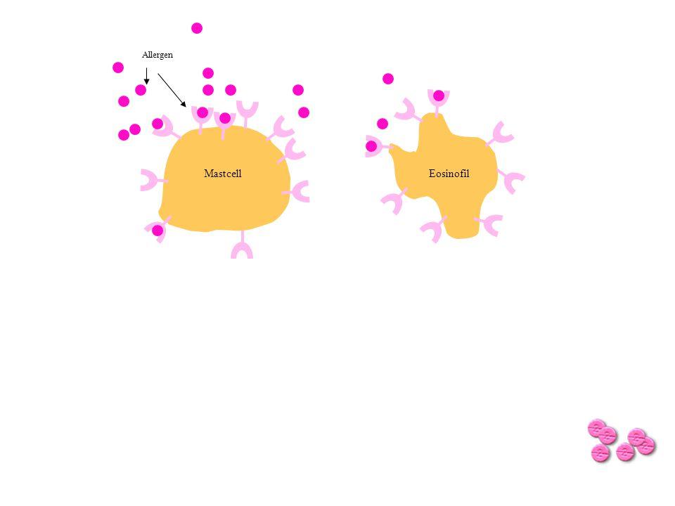 Allergen Mastcell Eosinofil