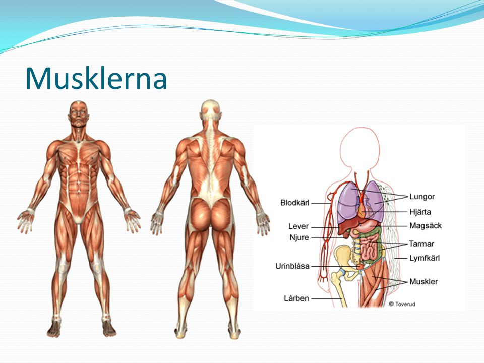 Musklerna Utgör mer än halva kroppsvikten Ger stadga åt skelettet