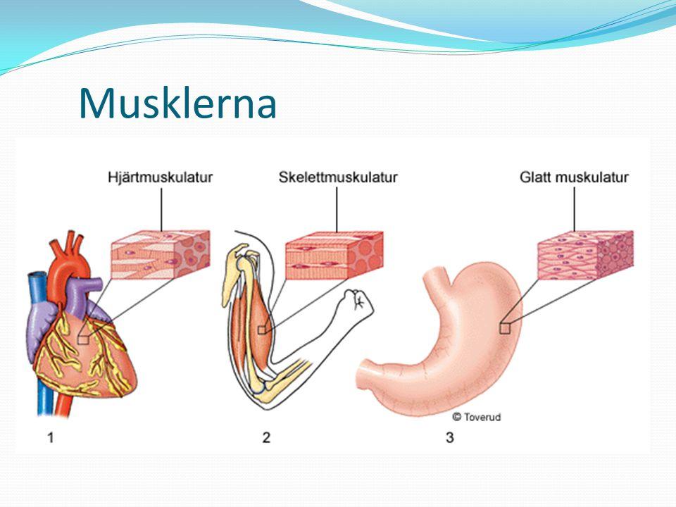 Musklerna Största delen – skelettmuskelatur (kan styras viljemässigt)