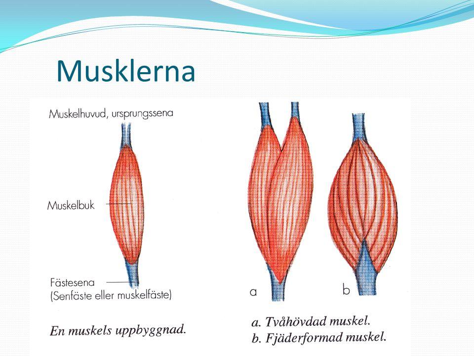Musklerna Olika form – beroende på funktion