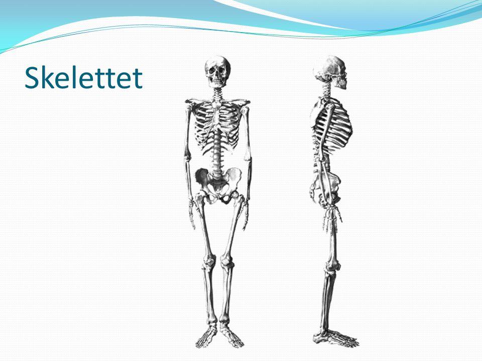 Skelettet SKELETTET Tillhör rörelseorganen