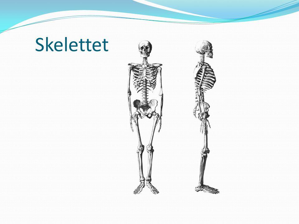 Skelettet Längdtillväxten slutar vid 20 års ålder