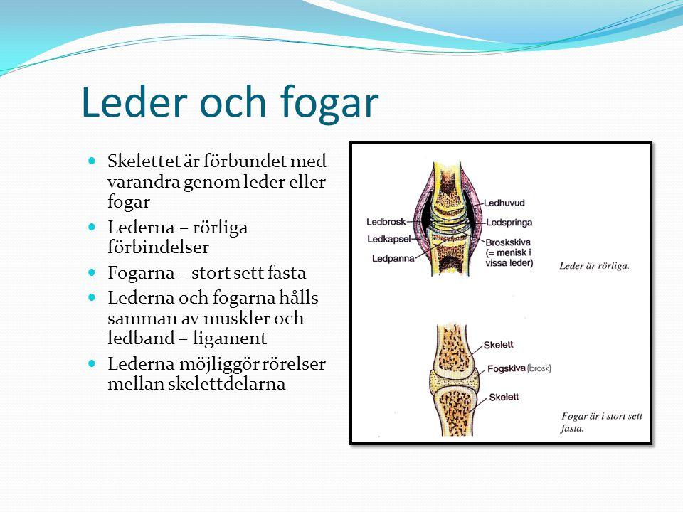 Leder och fogar Skelettet är förbundet med varandra genom leder eller fogar. Lederna – rörliga förbindelser.