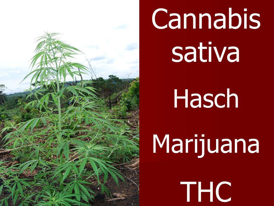 Cannabissativa Hasch Marijuana THC