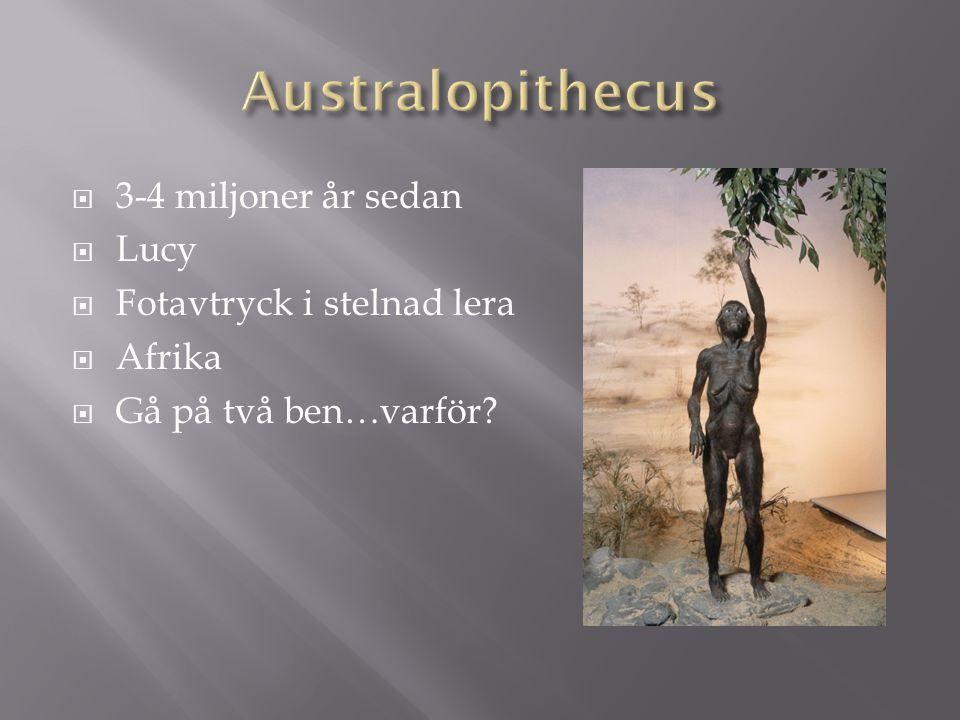Australopithecus 3-4 miljoner år sedan Lucy Fotavtryck i stelnad lera