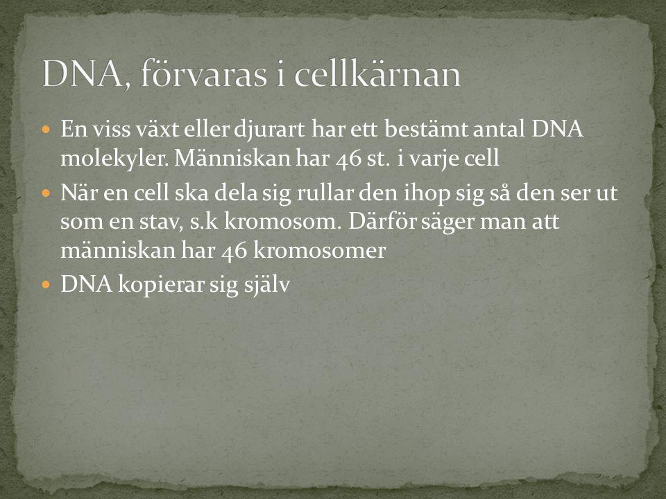 DNA, förvaras i cellkärnan