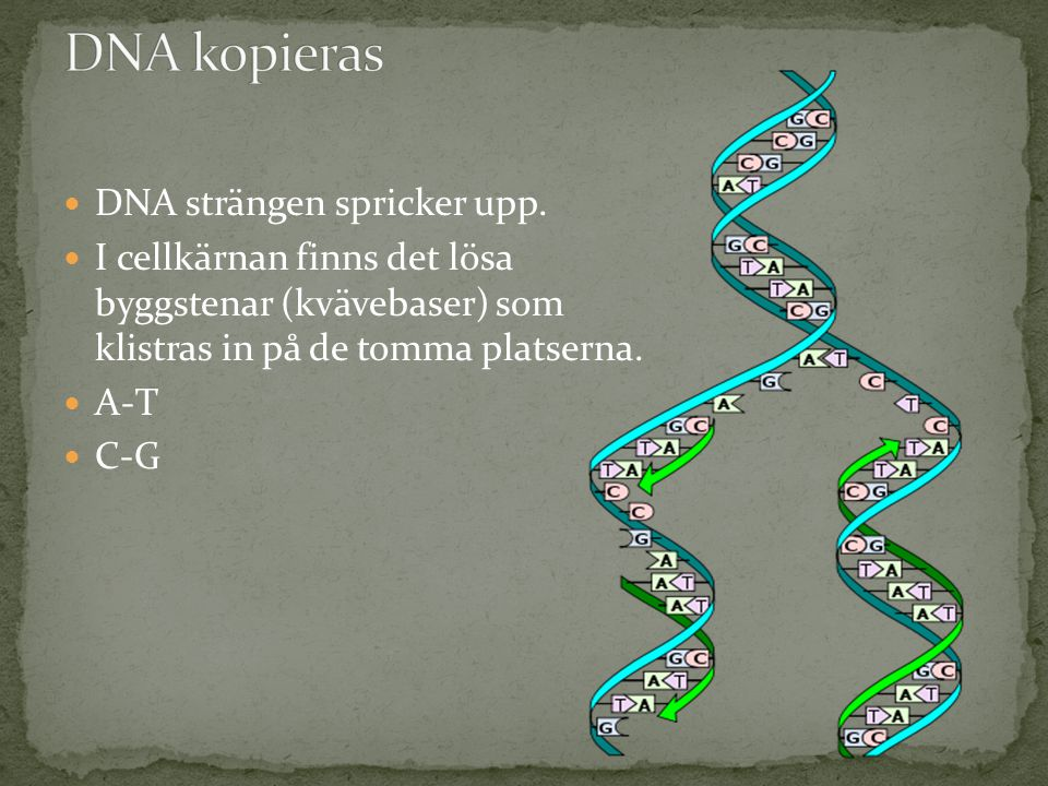 DNA kopieras DNA strängen spricker upp.