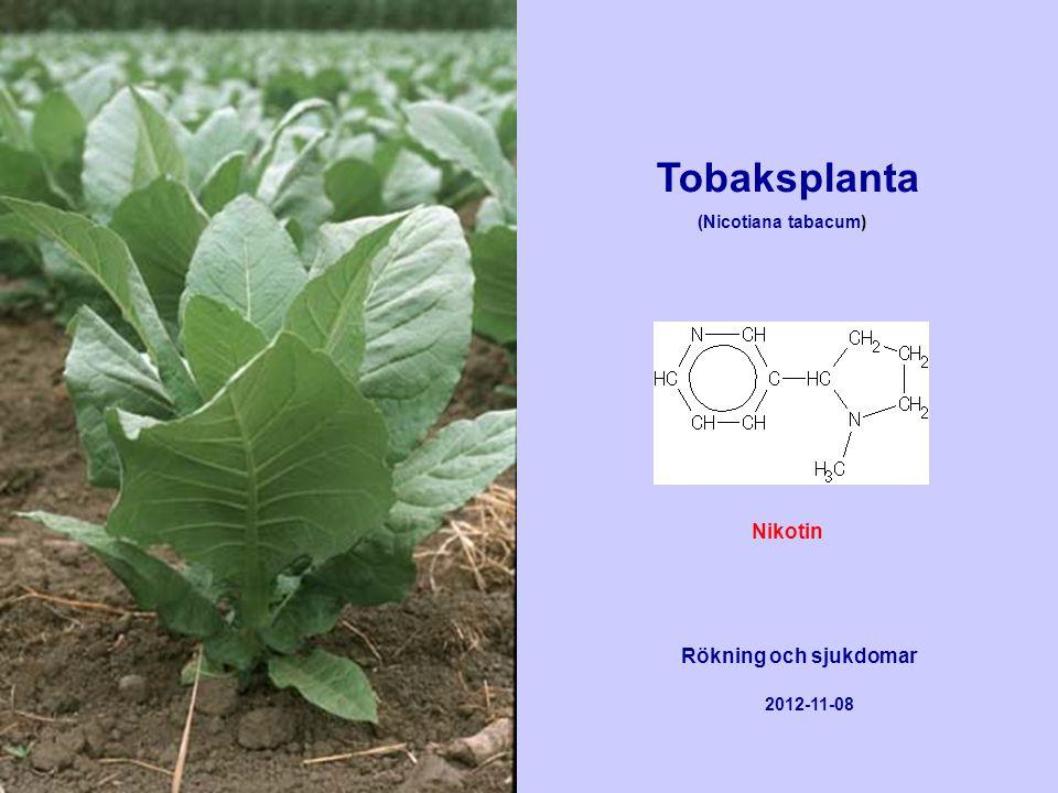 Tobaksplanta Nikotin Rökning och sjukdomar (Nicotiana tabacum)