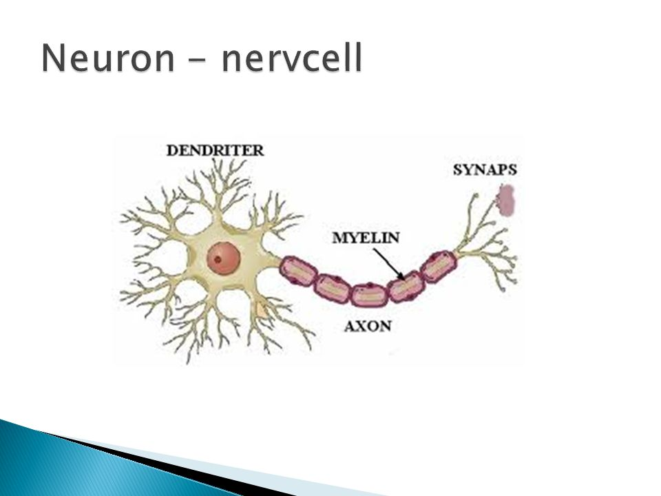 Neuron - nervcell