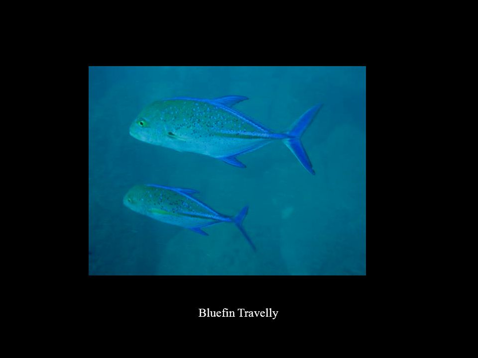 Bluefin Travelly