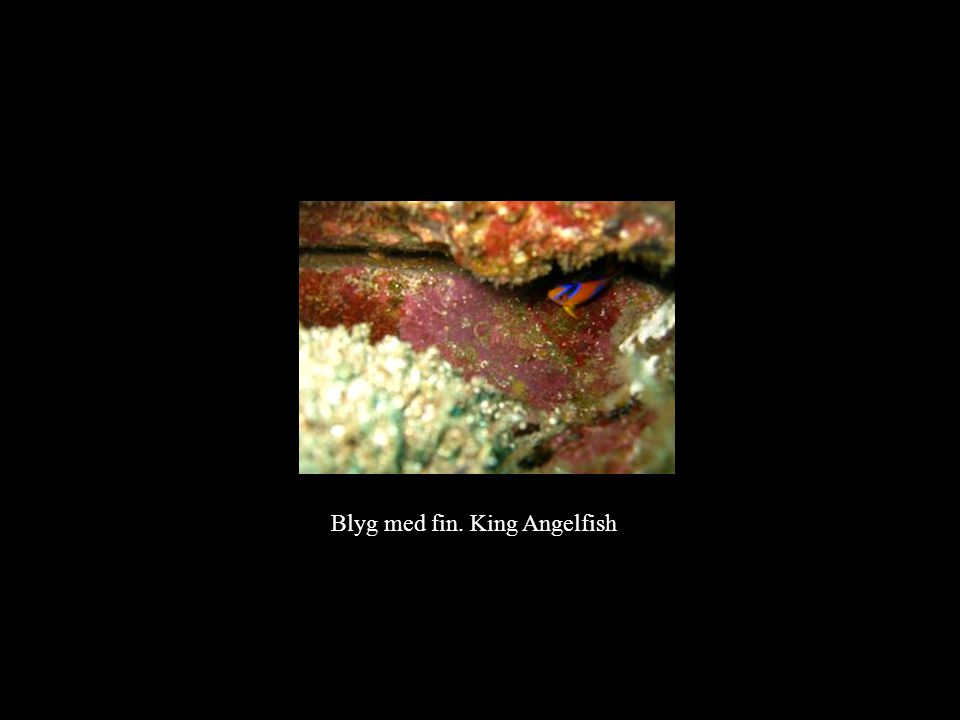 Blyg med fin. King Angelfish