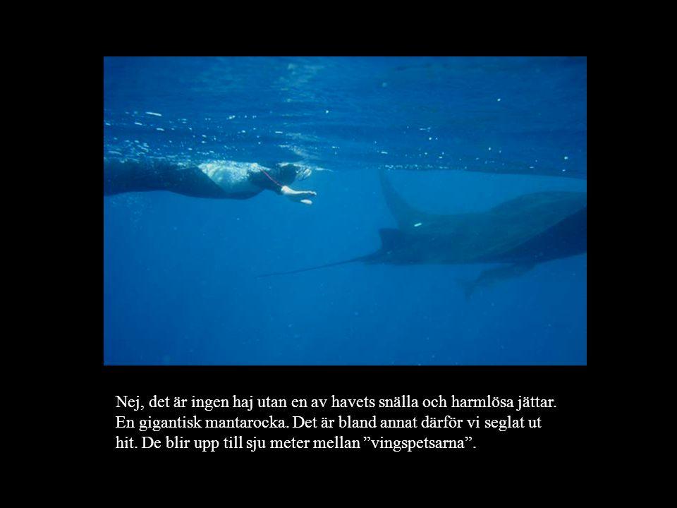 Nej, det är ingen haj utan en av havets snälla och harmlösa jättar