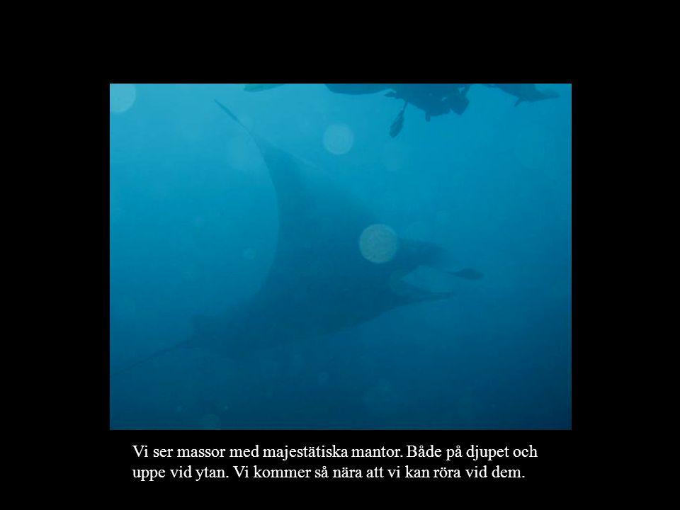 Vi ser massor med majestätiska mantor. Både på djupet och uppe vid ytan.
