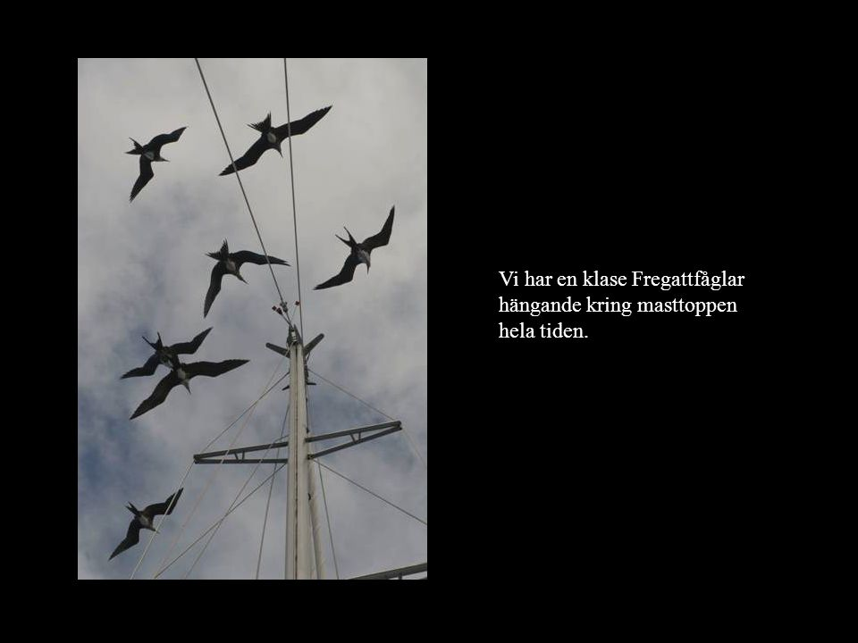 Vi har en klase Fregattfåglar hängande kring masttoppen hela tiden.