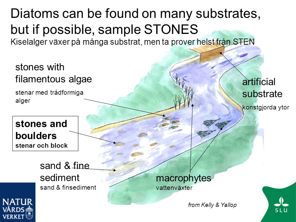Diatoms can be found on many substrates, but if possible, sample STONES Kiselalger växer på många substrat, men ta prover helst från STEN
